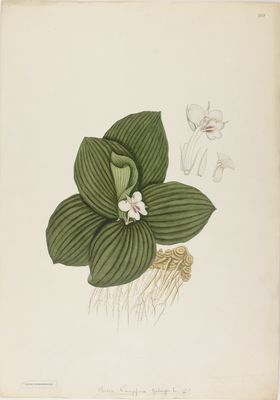 Kaempferia galanga Linn., watercolour on paper