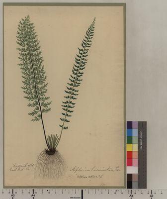 Asplenium laciniatum (170)
