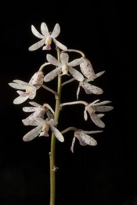 Dipodium paludosum (Griff.) Rchb.f.