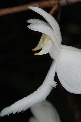 Platanthera integrilabia