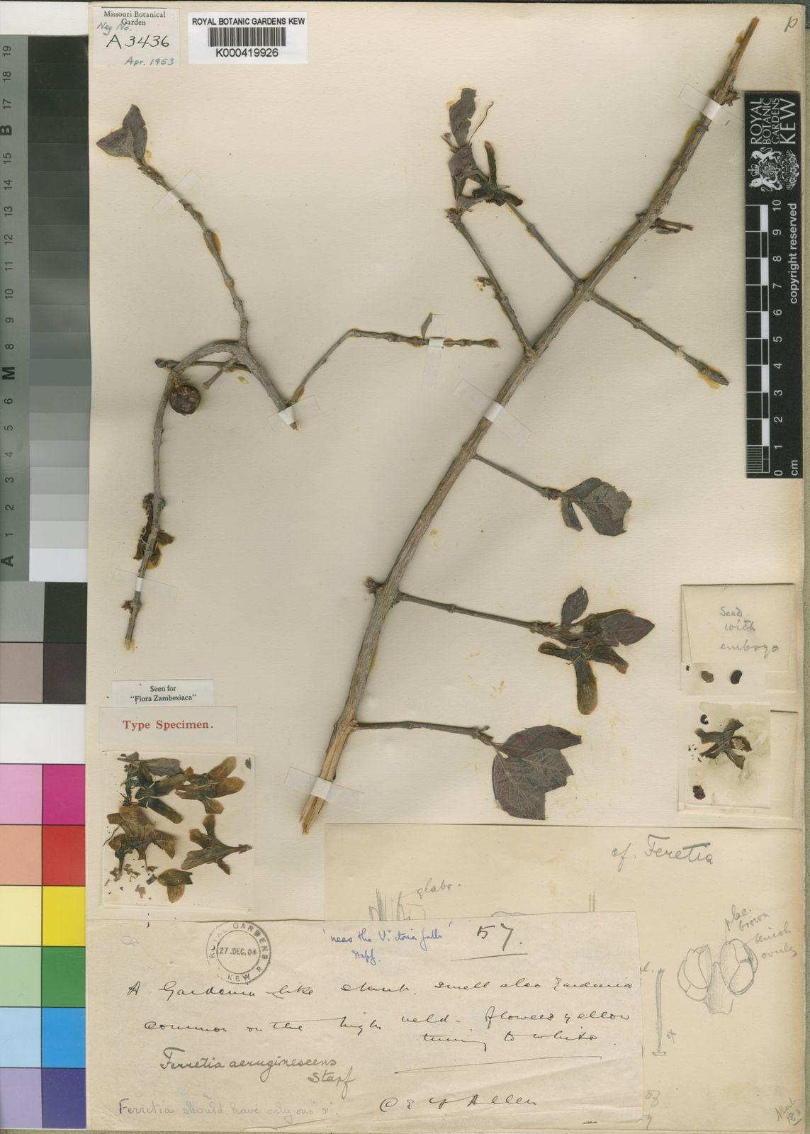 Feretia Aeruginescens Stapf