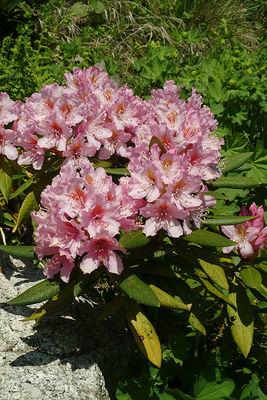 Rhododendron × sochadzeae