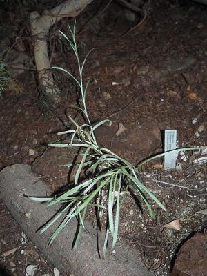 Pycnosorus globosus