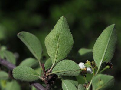 Cotoneaster submultiflorus