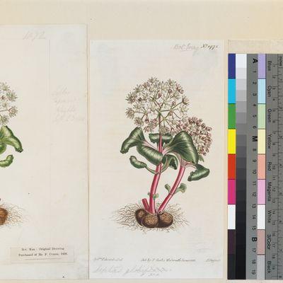 Septas globiflora published illustration from Curtis's Botanical Magazine