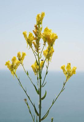 Linaria kurdica
