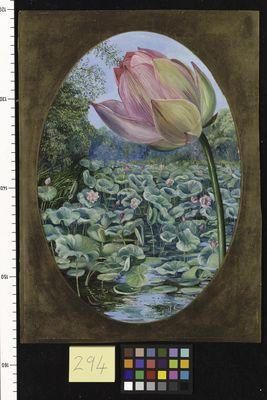 The Sacred Lotus or Pudma, North, Marianne