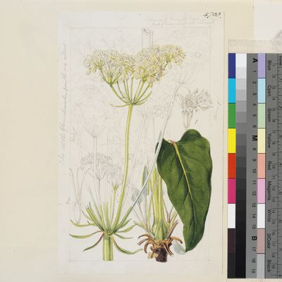 Eriogonum compositum Douglas ex Benth., watercolour drawing for Curtis's Botanical Magazine