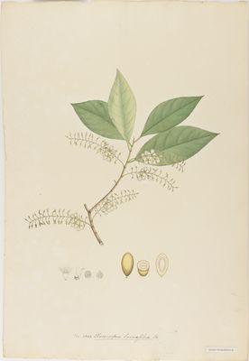 Elaeocarpus lanceaefolius R., watercolour on paper