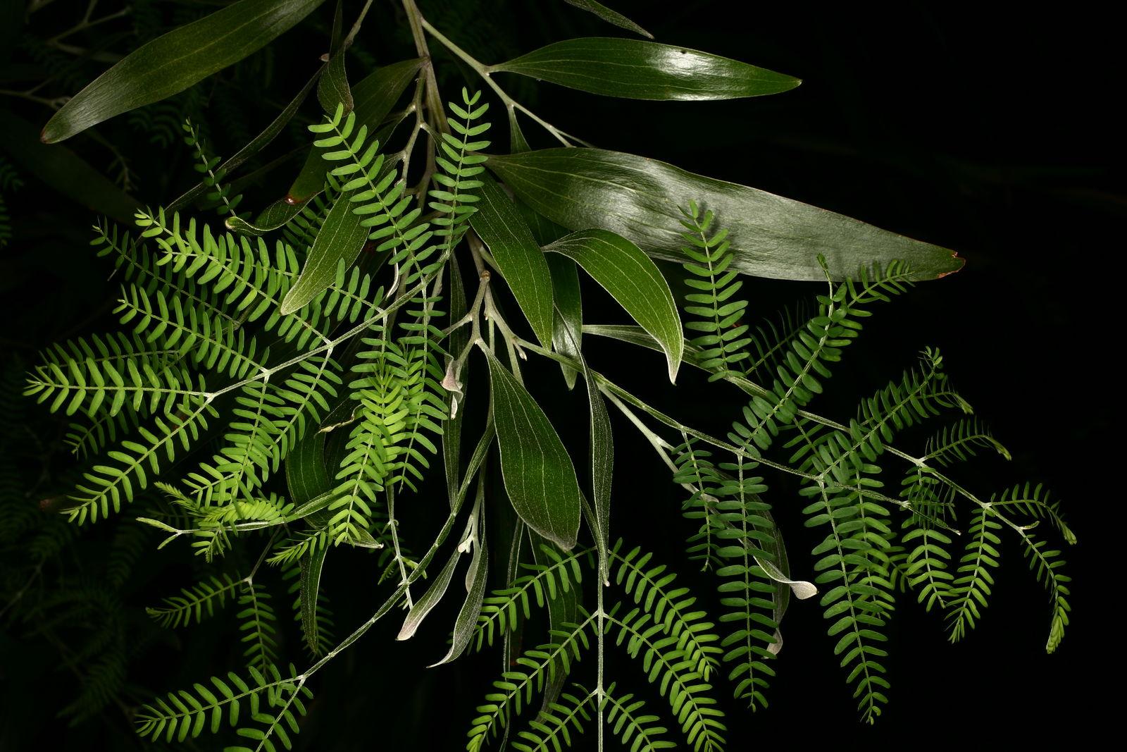 Acacia Melanoxylon Rbr Plants Of The World Online Kew Science