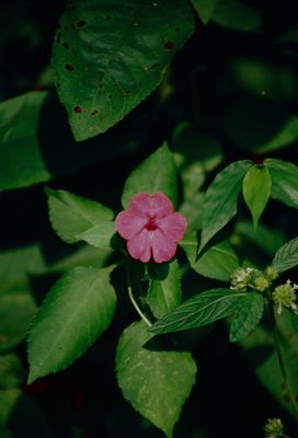 Impatiens walleriana Hook.f.