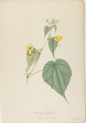 Sida polyandra Roxb.; watercolour on paper