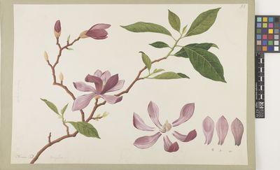 Magnolia purpurea