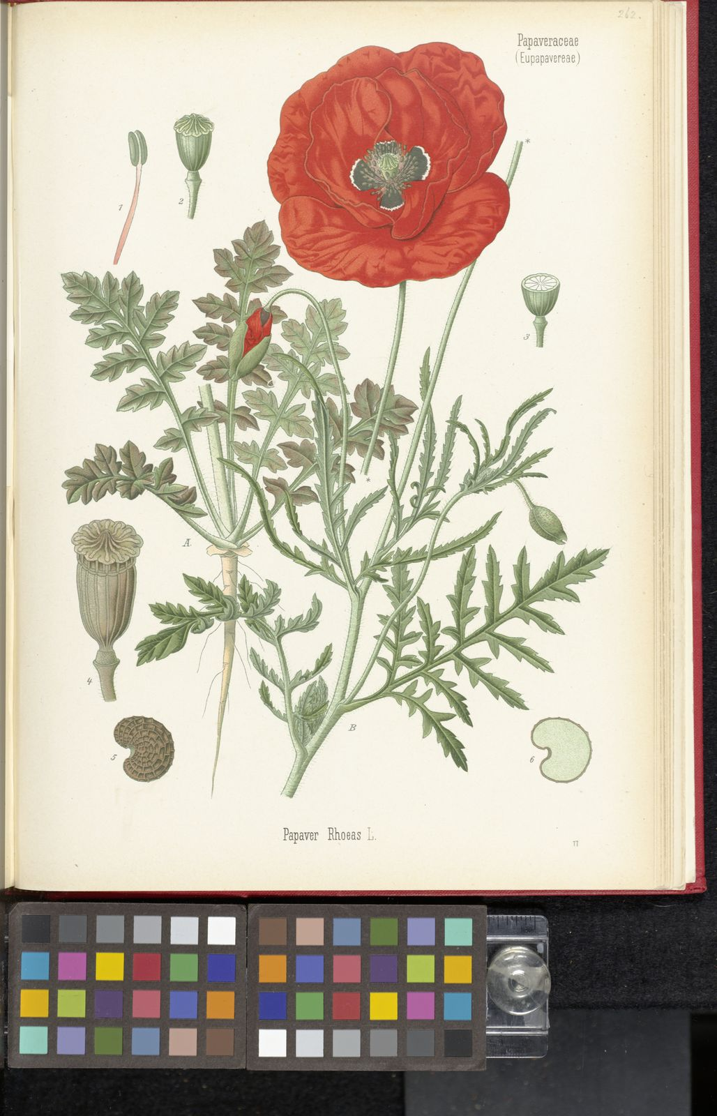 Papaver Rhoeas L Plants Of The World Online Kew Science