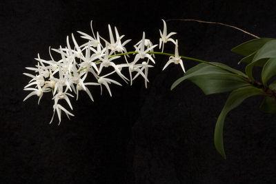 Dendrobium jonesii Rendle