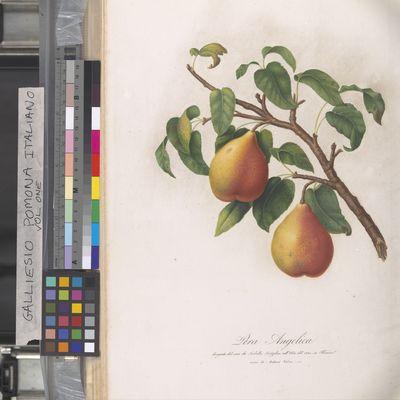 Pera Angelica, Pomona Italiano, Gallesio