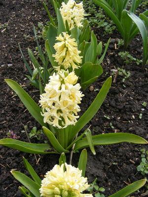 Hyacinthus orientalis 'Gipsy Princess'