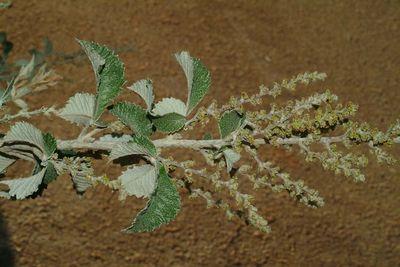 Searsia batophylla