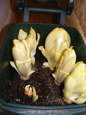 Cichorium intybus 'Brussels Witloof'