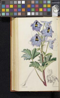 Delphinium brunonianum, Fitch