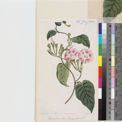 Convolvulus canariensis published illustration from Curtis's Botanical Magazine