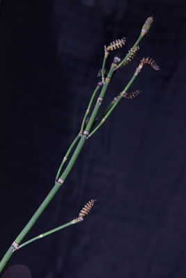Equisetum hyemale subsp. affine