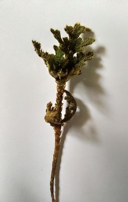 Selaginella bryopteris
