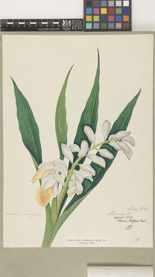 Alpinia sp.