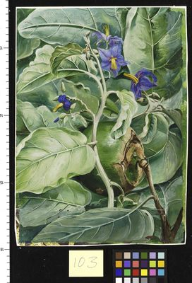 103. Foliage, Flowers, and Fruit of Poma de Lupa,. Brazil.