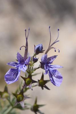 Teucrium orientale