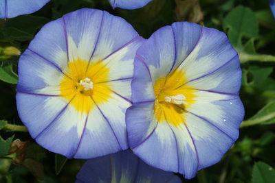 Convolvulus tricolor subsp. cupanianus