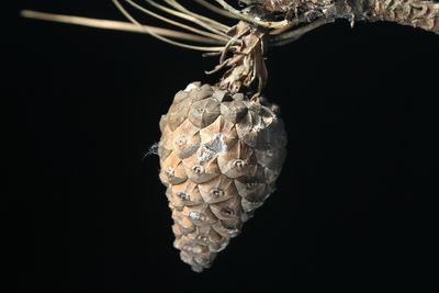 Pinus oocarpa
