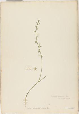 Evolvulus pilosus R., watercolour on paper