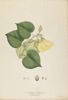 Hibiscus tortuosus R., watercolour on paper