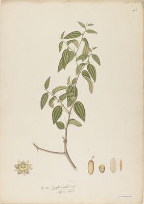 Ziziphus nitida R., watercolour on paper