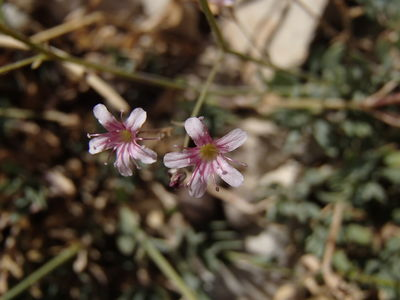 Gypsophila libanotica Boiss.