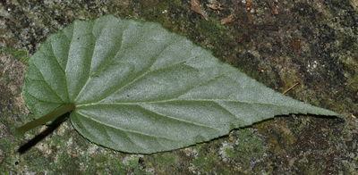 Begonia malabarica