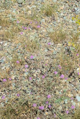 Centaurea gulissashvilii