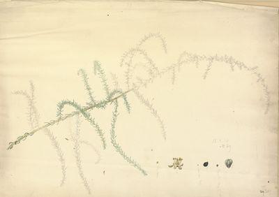 Salsola [fruticosa]