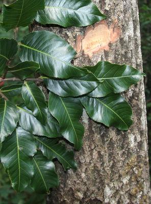 Cariniana estrellensis (Raddi) Kuntze