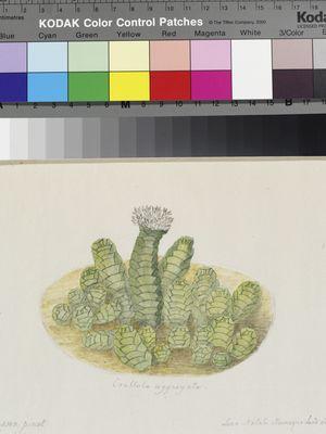 Crassula aggregata, original illustration by Francis Masson