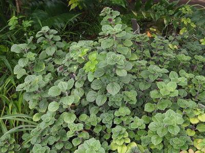 Plectranthus oertendahlii