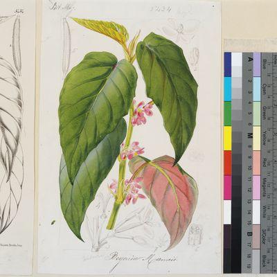 Begonia mannii original illustration from Curtis's Botanical Magazine