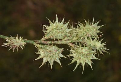 Onobrychis caput-galli