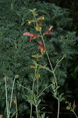 Salvia lanceolata