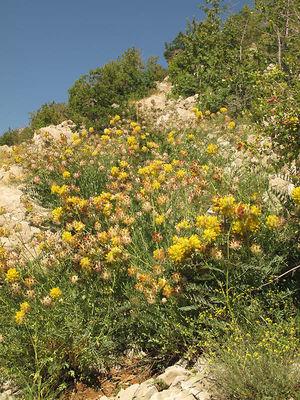 Astragalus ehrenbergii