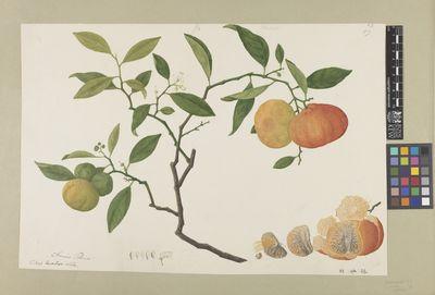 Citrus aurantium - Citrus Cover I