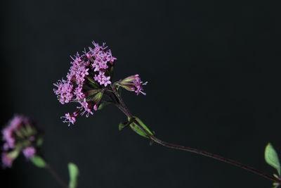 Stevia jorullensis