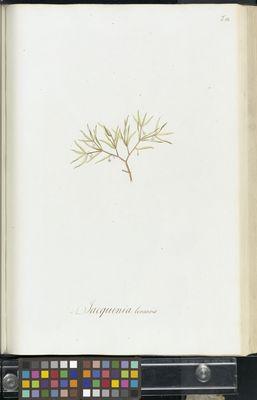 Jacquinia linearis