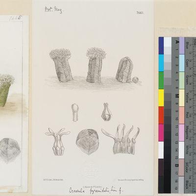 Crassula pyramidalis Thunb. published illustration from Curtis's Botanical Magazine
